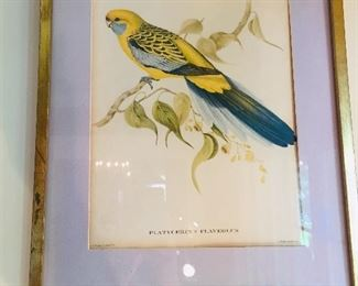 another early Gould print--Parakeet