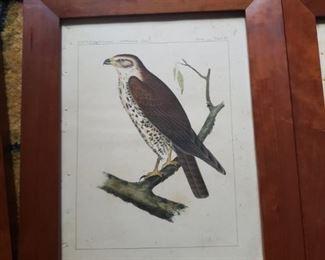 Hawk bird print