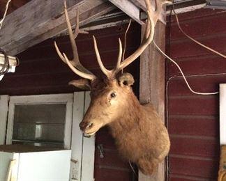 Vintage 1960's 6 x 6 Elk mount.