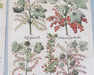 Basilius Besler Botanicals
