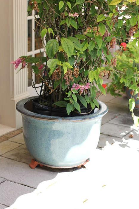 specimen-sized plant on patio