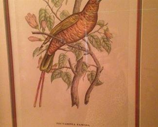 """""""Nectarinia Famosa"""" by J & E Gould"""