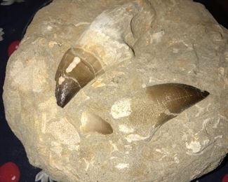 GIGANTIC MOSASAUR DINOSAUR FOSSIL TEETH WHOLE STILL IN THE MATRIX FROM MOROCCO