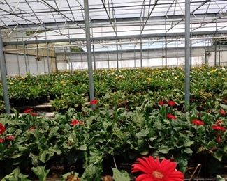 Over 4500 gorgeous gerbera daisies each $10 Plus everything inside the house and in the outbuildings and the greenhouses