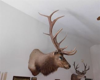 Not For Sale. Award winning Elk from section 8.