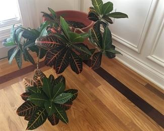 This lovely plant needs a new home also