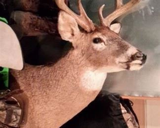 10pt shoulder mounted deer head.