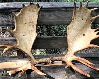 Large pair of moose antlers