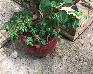 Several nice Hibiscus plants in large Red and Green Pots