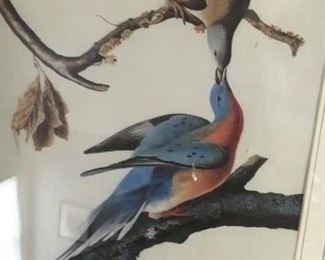 Audubon print--passenger pigeon