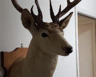 shoulder mount 15 point deer