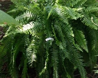 Incredibly large fern