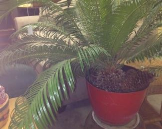 Live sago palm tree