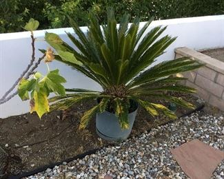 large Cycade Palm – price $80