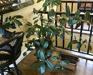 LIVE RUBBER TREE PLANT
