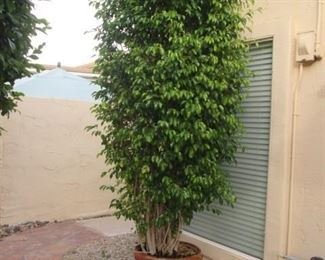 Tall Potted Ficus, FABULOUS!  Heavy, Bring Help!!!
