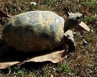 Resident turtle, not for sale