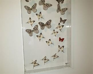 Real butterflies captured in 3-D glass case.