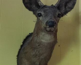 buck taxidermy