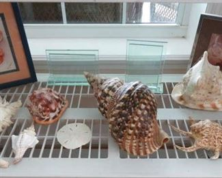 Large Sea Shells Pacific Triton, Large Horned Queen Helmet Conch