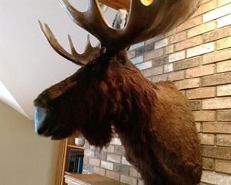 Talking and animated MOOSE head wall mount