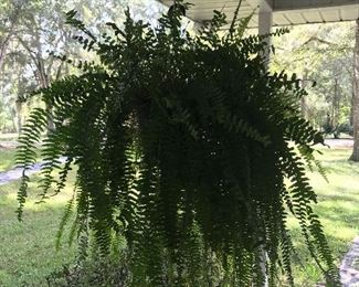 Two large ferns