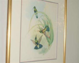 Gould hummingbirds