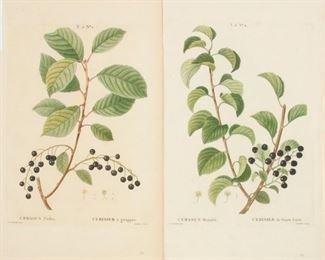142: Two Redoute Engravings, Traite des Arbres et Arbustes