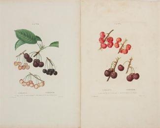 143: Two Redoute Engravings, Traite des Arbres et Arbustes