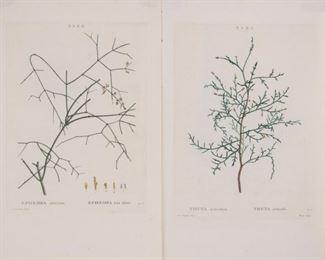 144: Two Redoute Engravings, Traite des Arbres et Arbustes