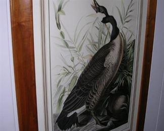 Audubon Goose