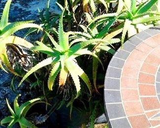 Potted plants around pool. Aloe and bamboo