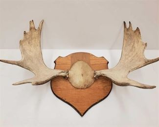 """1024: Antler Wall Mount Measures approx 34""""x12"""""""