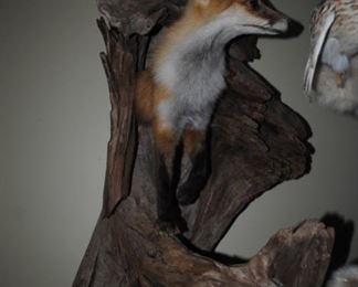 Fox in Driftwood Taxidermy