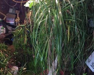 Large Ponytail plant