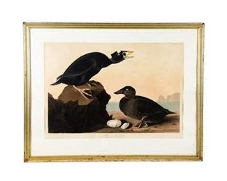 "Audubon Double Elephant Folio ""Black or Surf Duck"" #317"