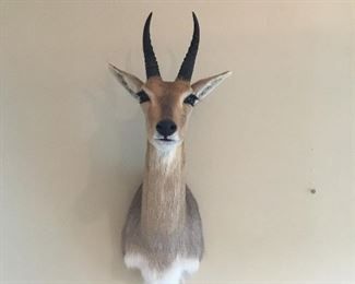 Red Lechwe Trophy Mount Taxidermy