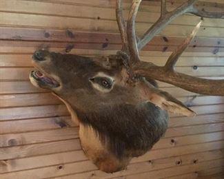 Elk Trophy Mount Taxidermy