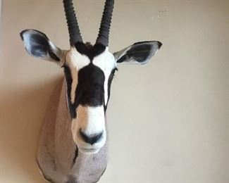 Oryx/Gemsbok Trophy Mount Taxidermy