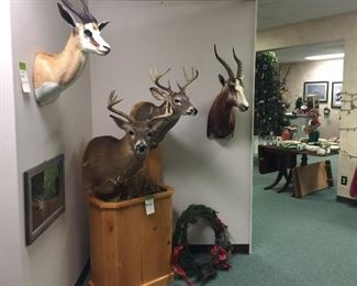 Springbok, whitetail deer, hartesbeest trophy mounts taxidermy