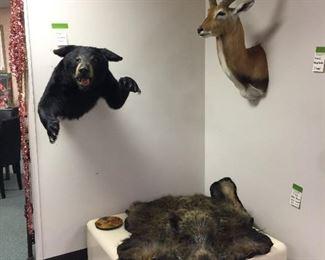 Bear, waterbuck, wild boar taxidermy trophies