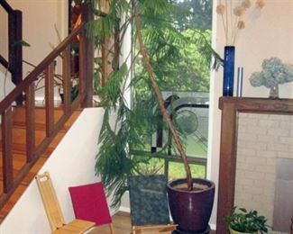 Living Room:  Large Norfolk Pine  (Approx  10 feet tall),  3 Folding Chairs, Small Plant.