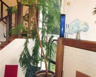 Living Room:  Large Norfolk Pine  (Approx  10 feet tall)