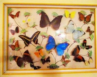 Large shadow box collection of Amazonian Butterflies