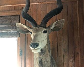 one of many big game mounts
