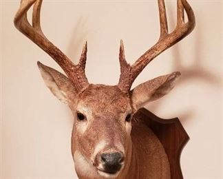 8 Point Whitetail Deer Mount - Overall Dimensions: 20 in. x 38 in.