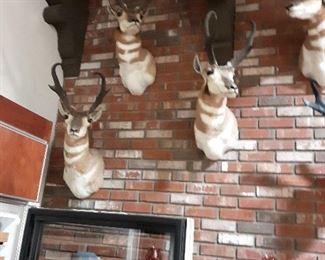 6 Antlope Heads