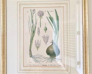 112. Onion Botanical Print (11'' x 14''),  $ 80.00