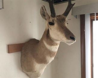 Taxidermy Antelope (pronghorn) $200