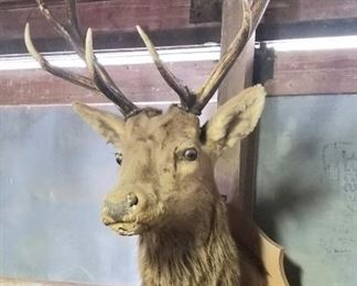 Several taxidermy pieces available